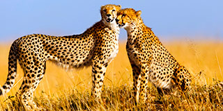 Cheetah mother & cub, Masai Mara