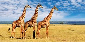 Trio of giraffes, Masai Mara