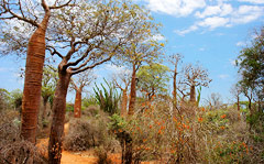 Baobab trees, spiny forest, Ifaty  Photo by JialiangGao