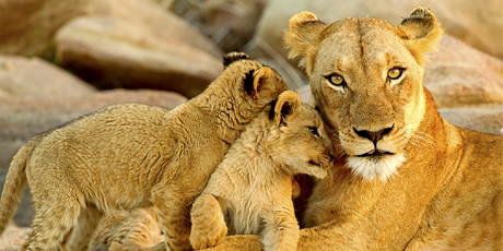 Lion family, Kruger National Park