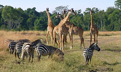 Zebras and giraffes grazing