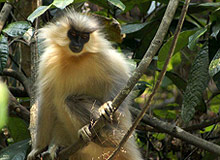 The Grey Langur