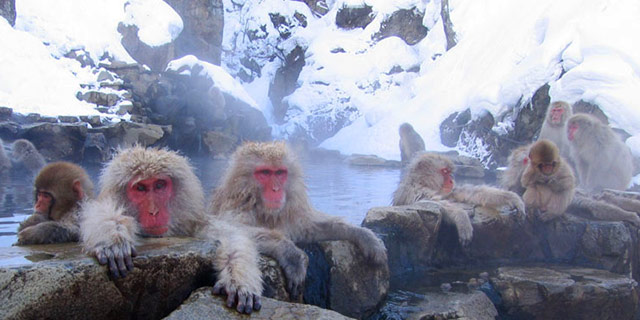 Macaques at Jigokudani hotspring in Nagano  Photo by Yosemite