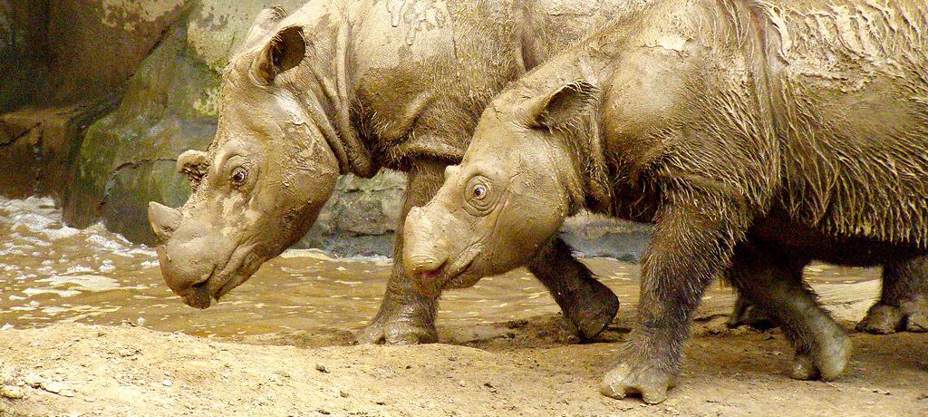 Sumatran Rhinos  Photo by Charles W. Hardin