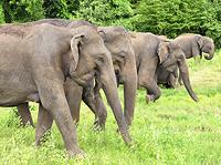 Elephant family, Minneriya National Park