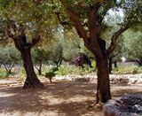 Olive trees, Garden of Gethsemane